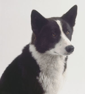 A black and white Karelian bear dog with a thick coat, pricked-up ears, and a white