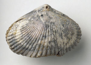 Brachiopods - Cyclothyris: The shell of the brachiopod Cyclothyris difformis (Valenciennes)