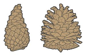 Digital illustration of closed and open conifer pinecones