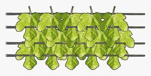 Digital illustration of thatching leaves drying on improvised rack