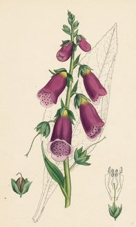 Digitalis purpurea, Purple Foxglove