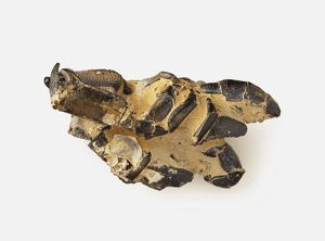 Mud Lobster (Thalassina anomala) fossil, ventral view